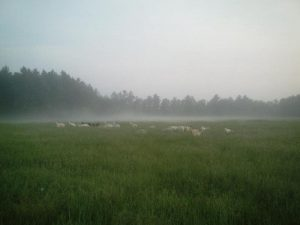 Grasse River B goats grazing in early morning