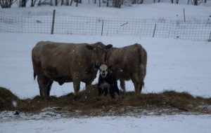 Two large cows watching over a new born calf in snow