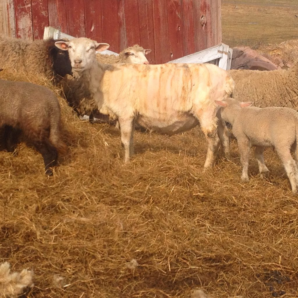 Sheared mother and lamb