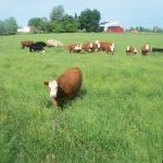Grass fed beef on lush pasture!