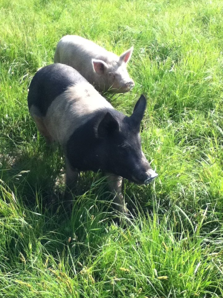 Pastured Berkshire pork, pigs grazing