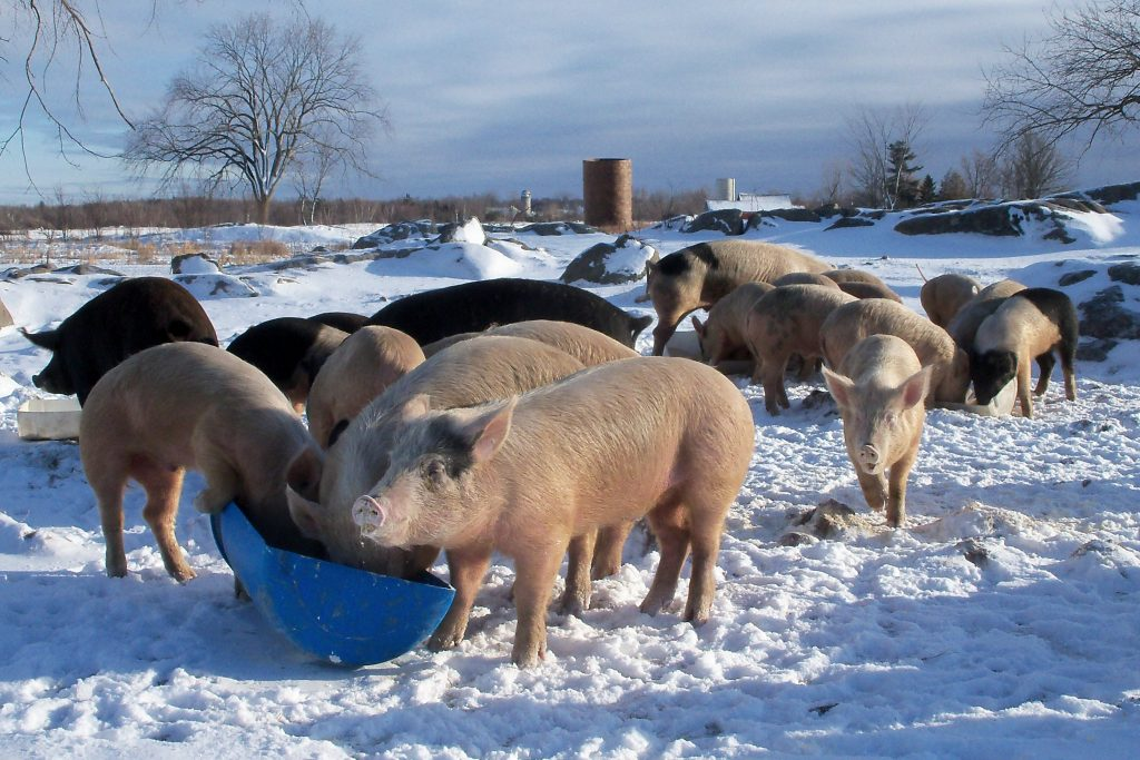 Pigs out feeding in the snow